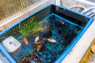 コンクリートの枠で囲った水槽には錦の金魚(大阪府枚方市の注文住宅)